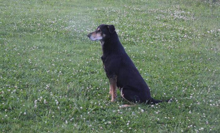 Kampfhund