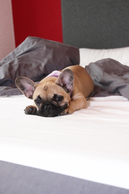 Französische Bulldogge Bettwäsche Designer Tapeten Für Schlafzimmer