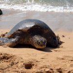 Laniakea Beach Schildkröte Hawaii