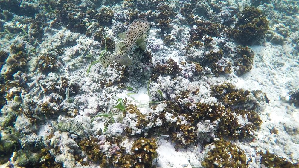 Kugelfisch Malediven