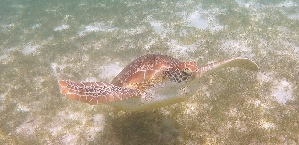 Schildkröten Kuredu